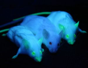 Two NOD/SCID mice expressing enhanced green fluorescent protein (eGFP) under UV-illumination flanking one plain NOD/SCID mouse from the non-transgenic parental line.